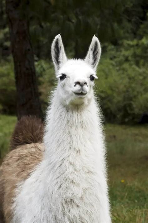 types  llamas  interesting facts