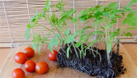 Vēlaties iegūt spēcīgus un veselīgus tomātu stādus?