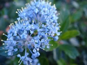 Mimosa Résistant Au Froid : fleur resistant au froid pivoine etc ~ Melissatoandfro.com Idées de Décoration