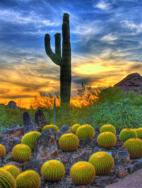 sunset barrel cactus in sonoran desert scottsdale