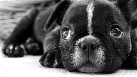 black  white dog wallpapers  wallpapers adorable