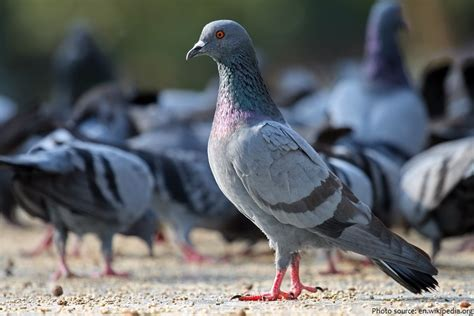 interesting facts about pigeons and doves just fun facts