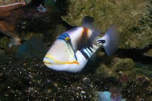 Hawaiian Triggerfish Fish