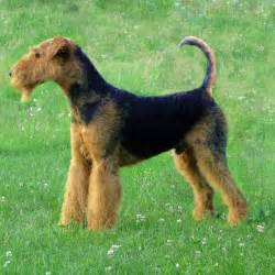 do airedale puppies shed hypoallergenic dogs 28 dogs that don t shed
