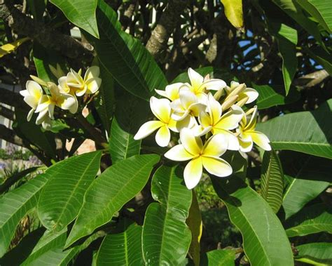 Plants Online Nursery by Gardensonline Plumeria Acutifolia