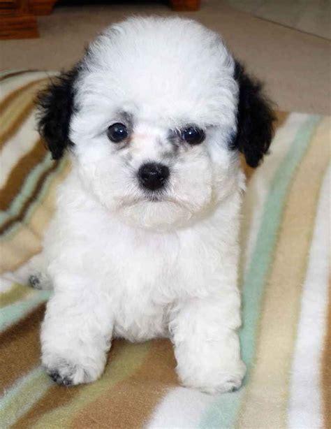 poodle pictures pics images    inspiration
