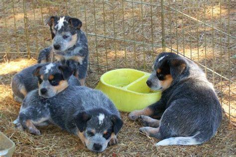 list   dogs breeds blue heeler puppy pictures