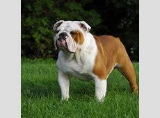 english bulldog puppy & english bulldog breed information