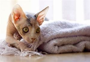 Sphynx Cats - Weird Aliens or Cats Without Fur?