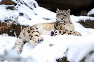 Snow leopards have small ears; thick, furry coats; compact