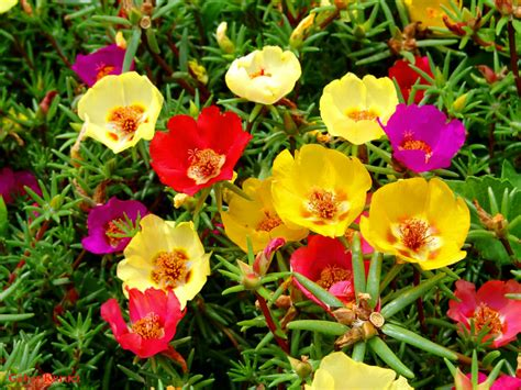 time flowers portulaca grandiflora moss rose eleven o clock world of succulents