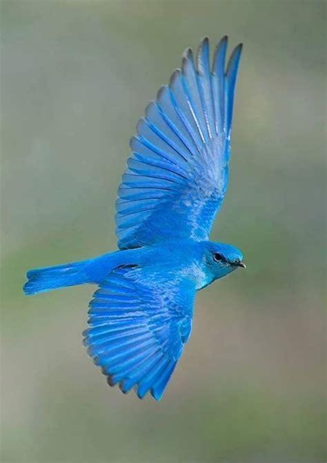 mountain bluebird hd  weneedfun