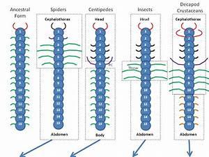 About Arthropod Appendages