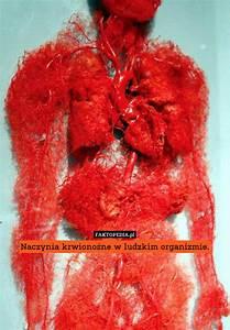 Naczynia Krwiono U015bne W Ludzkim