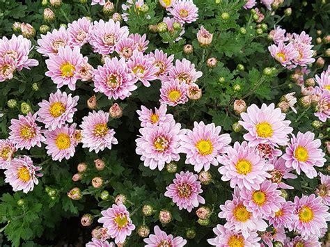 gambar wallpaper bunga krisan gudang wallpaper