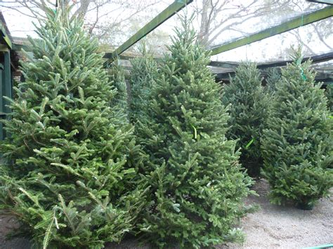 now available live christmas trees wreaths garlands