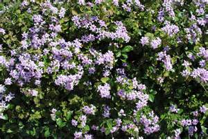 Flowering Bush with Purple Flowers