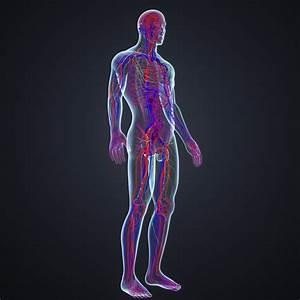 Body Arteries Veins 3d Model