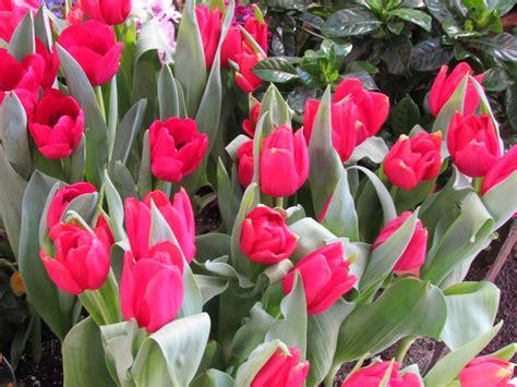 sturtz  copeland   daffodils tulips hyacinths