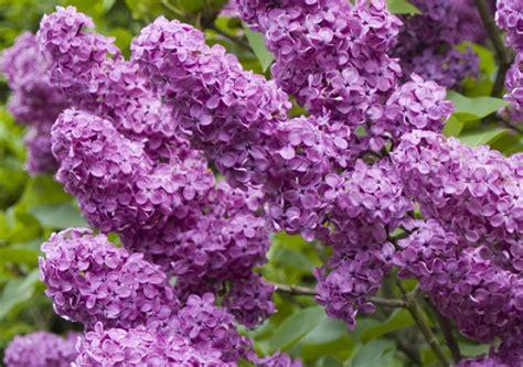 cuisine mauve fiche de culture le lilas