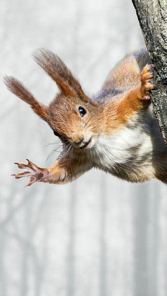 winter squirrel iphone   wallpaper gallery