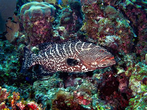 reef species data grouper tiger putting february using assistance evaluated iucn several being haines jeff