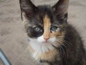 maine coon cat rescue tiny weeny torty baby possible maine coon rescue