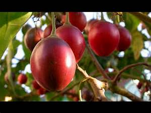 Como Funciona la Siembra y Cosecha de Tomate de Árbol ...