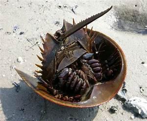 Amazing Horseshoe Crabs with Blue Blood (20 pics ...