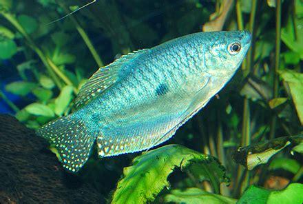 Blue Gourami Tropical Fish