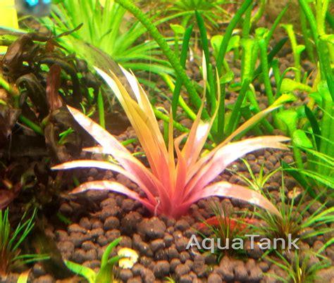 Aquascape Plants List by Eriocaulon Sp King Crimson Seeds Aquarium Plant