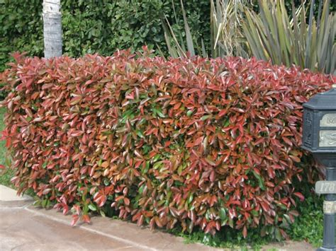 tip photinia red tip photinia for our casa pinterest