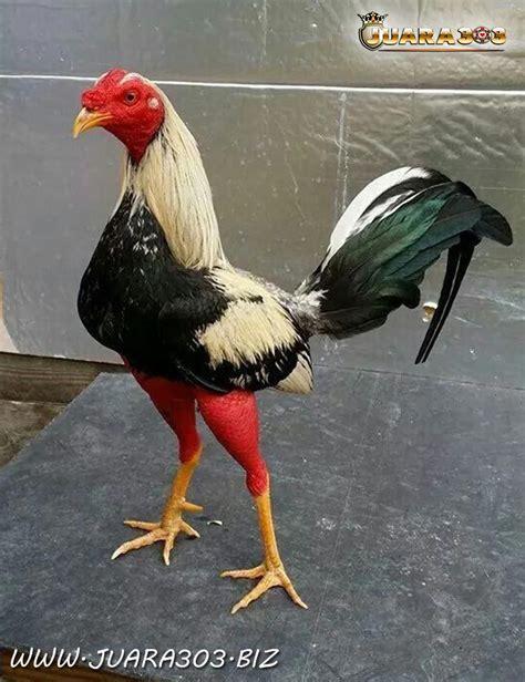 Pertandingan sabung ayam s128 tanpa penonton karena corona virus. SABUNG AYAM ONLINE | Ayam, Binatang buas, Hewan