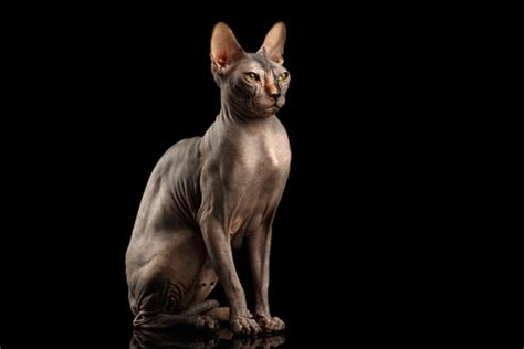 30 Egyptian Cat Names For Sphynx Cats  We're All About