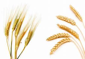 New Wheat  Barley And Durum Seed Varieties For 2017