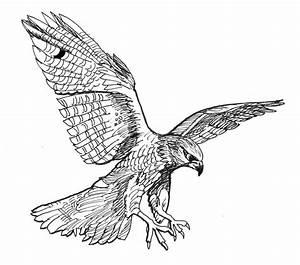 Falcon Drawing Falcon Fine Art Print David Burkart
