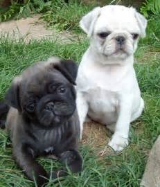 Silver and White Pug Puppies