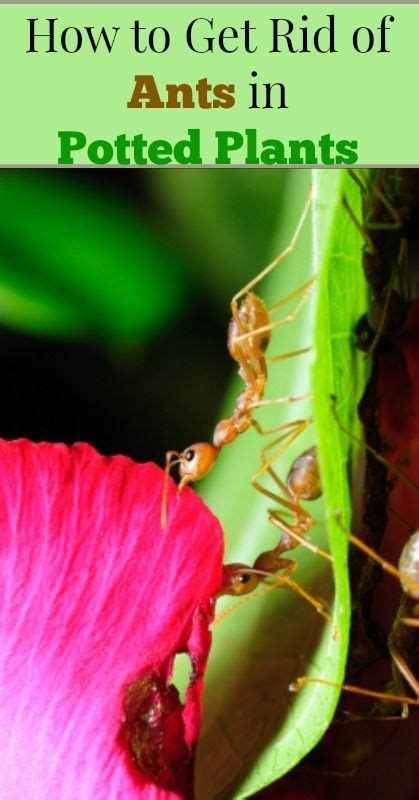 How To Get Rid Of Ants Inside The House by How To Get Rid Of Ants In Potted Plants Living