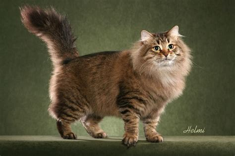 siberian cat forest kittens cost range breeders prices