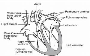 Easy Diagram Of Cross Section Of The Heart Urgently Needed