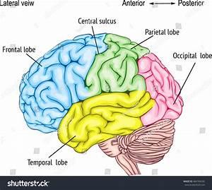 Central Nervous System Diagram Brain