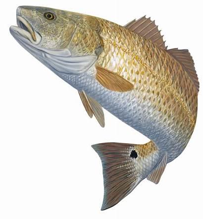 Fish Fishing Clipart Hunter Transparent Redfish Decal