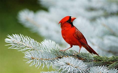 red bird wallpapers wallpaper cave