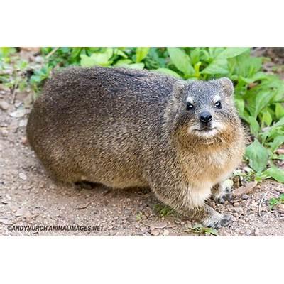 Rock Hyrax – Animal Images