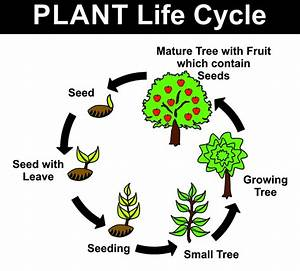 Feature Of The Life Cycle Flowering Seed Plants