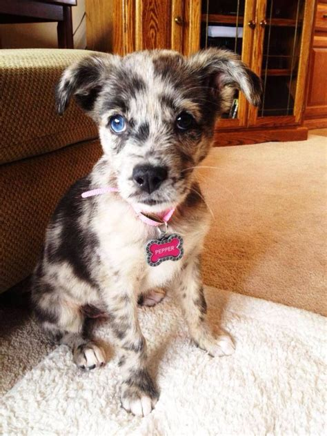Catahoula Puppies For Sale In Jacksonville Fl