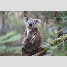 Koala Fun Facts For Kids  Australian Animals  Animal Facts