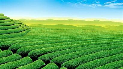 Tea Plants Landscape Field Farm Morning Hill