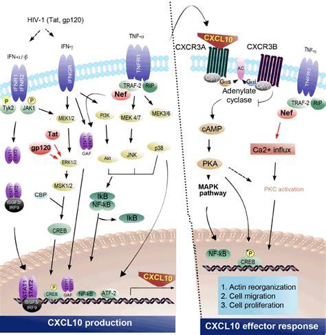 chemokine deregulation  hiv infection role