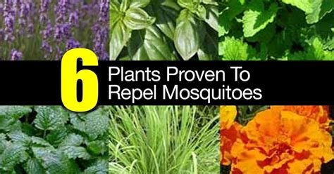 plants that prevent mosquitoes 6 plants proven to repel mosquitoes